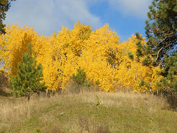 Quaking Aspen fall color
