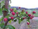 Marilee Crabapple flower bud