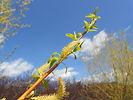 Golden Non-Brittle Willow flower