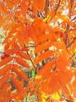 Pyramidal Mountain Ash fall leaves