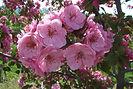 Brandywine Crabapple flower