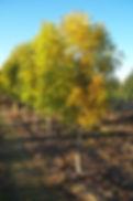 Mancana Ash fall color