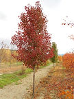 Cleveland Pear fall color