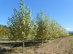Lanceleaf Poplar tree