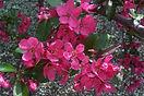 Prairifire Crabapple flower