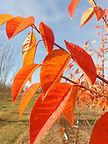 Evans Cherry fall leaves