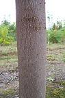 Emerald Queen Maple bark
