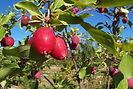 Dolgo Crabapple fruit