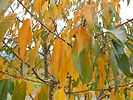Lapins Cherry fall leaves