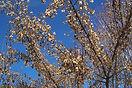 Ginnala Maple winter tree
