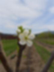 Mount Royal Plum flower