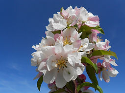 Marilee Crabapple flower