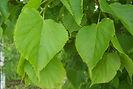 Greenspire Linden leaves