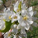 Dolgo Crabapple flower