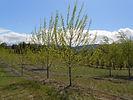 Lanceleaf Poplar tree in spring