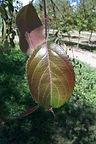 Echtermeyer Weeping Crabapple leaves