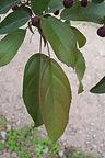 Purple Prince Crabapple leaves
