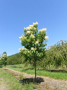 Ivory Silk Tree Lilac tree in spring