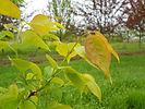 Ivory Silk Tree Lilac new growth