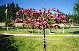 Echtermeyer Weeping Crabapple tree in spring