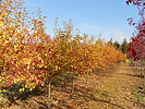 David Crabapple fall color