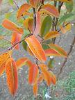 Bartlett Pear fall leaves