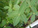 Berry Blue Honeyberry leaves