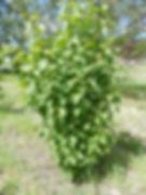 Common Lilac bush