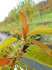 Lapins Cherry new growth
