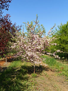 Prairie Rose Crabapple tree in spring