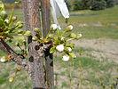 Satsuma Plum flower bud