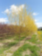 Golden Non-Brittle Willow tree in spring