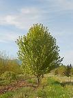 Autumn Blaze Maple tree in spring