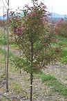 Purple Prince Crabapple tree