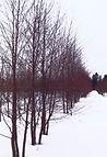 Red Western Birch in winter