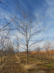 Skyline Honeylocust tree in winter