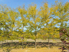 Skyline Honeylocust fall color