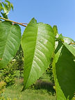 Lapins Cherry leaves