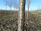 Ivory Silk Tree Lilac bark