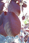 Canada Red Chokecherry leaves