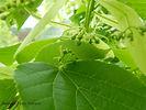 Redmond Linden flower bud