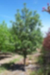 Oak Leaf Mountain Ash tree