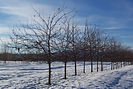 David Crabapple tree in winter