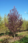 Canada Red Chokecherry tree in fall