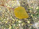 Lanceleaf Poplar fall leaf