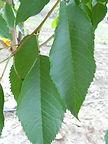 Stella Cherry leaves