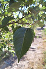 Cleveland Pear leaf