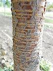 Evans Cherry bark