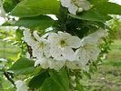 Evans Cherry flower