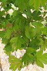 Paul's Scarlet Hawthorn flower bud